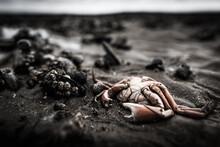 Dead Crab On A Mussel Bed On Sylt Island Germany On A Dark Sad Cloudy Day