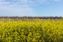Close-up Flowers Of Rapeseed, Yellow, Mustard Plant Picture. Israel