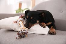 Cute Little Black Puppy On Sofa Indoors