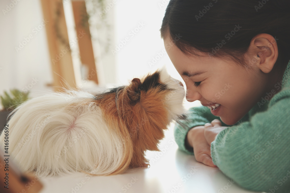 Fototapeta Happy little girl with guinea pig at home. Childhood pet