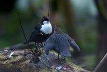 White Throated Dipper On A Creek In Jonsered,Sweden