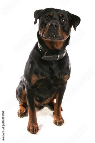 Fotografie, Tablou Rottweiler