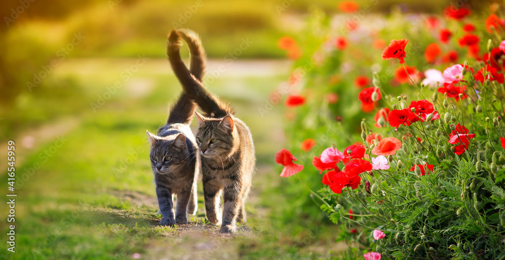 Fototapeta two cute cats in love walk through a green meadow with red poppies and caress a warm summer sunny day