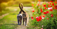 Two Cute Cats In Love Walk Through A Green Meadow With Red Poppies And Caress A Warm Summer Sunny Day
