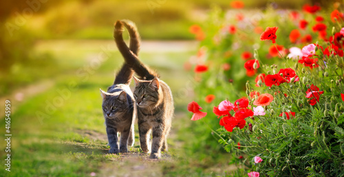 Fototapeta two cute cats in love walk through a green meadow with red poppies and caress a warm summer sunny day obraz