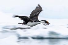 Antarctic Shag (Leucocarbo Bransfieldensis) Taking Flight With Nesting Material At Port Lockroy, Antarctica, Polar Regions