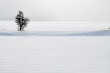 Lone Tree In Snow Dune, Yellowstone National Park, UNESCO World Heritage Site, Wyoming, United States Of America, North America