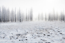 Snowscape With Trees In The Fog, Yellowstone National Park, UNESCO World Heritage Site, Wyoming, United States Of America, North America
