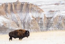 Profile Of American Bison (Bison Bison) In The Snow In The Badlands, Badlands National Park, South Dakota, United States