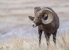 Bighorn Sheep (Ovis Canadensis) Close Up, Badlands National Park, South Dakota, United States Of America, North America