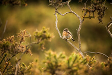 A Stone Chat Bird Sat On A Gorse Branch