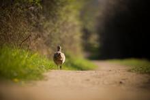 A Female Pheasant Running Down A Track