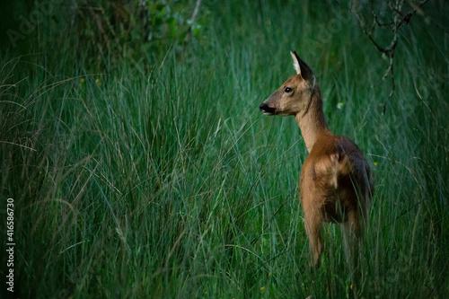 Fotografia A female roe deer in long grass