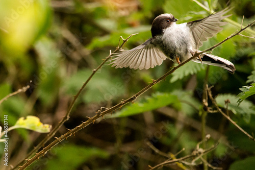 Fototapeta premium A long-tailed tit fledgling perched on a branch with its wings out