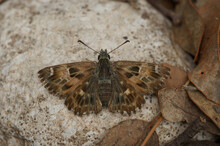 Close Up Of The Mallow Skipper ,Carcharodus Alceae, On A Stone In Southern France