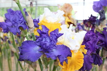 White, Yellow And Purple Iris In The Apothecary Garden In Moscow. Flowers Close-up