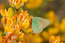 Green Hairstreak (Callophrys Rubi), Small Green Butterfly On Yellow Flowers
