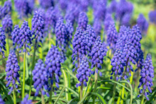 Grape Hyacinth, USA