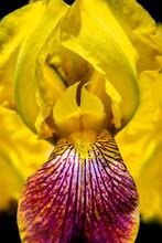 Bearded Iris, USA