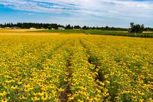 A Field Of Black Eyed Susan Flowers Near Silverton, Oregon