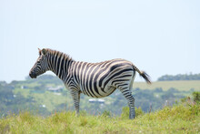 Zebra Portrait, On A Hill In Southern Africa