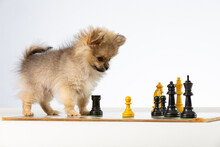 Tiny Dog Playing Chess On A White Background