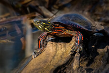 A Painted Turtle (Chrysemys Picta) Basking In The Summer Sun On A Log In The Marsh.