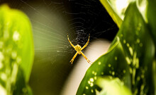 Yellow Spider In Its Web Made Among Green Leaves In The Peruvian Jungle. Gasteracantha Cancriformis.