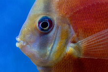 Close-up Of Red Cover Freshwater Tropical Discus.