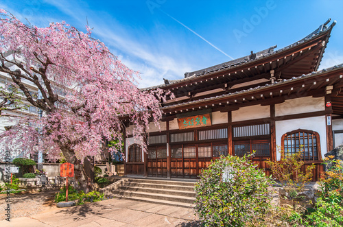 Fotografie, Obraz Japanese Buddhist zen temple of Seiunzenji belonging of the Yanaka seven lucky gods pilgrimage and famous as a religious spot for enjoying weeping cherry blossoms