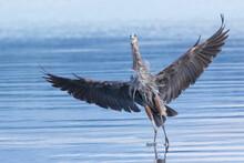 Great Blue Heron Alighting