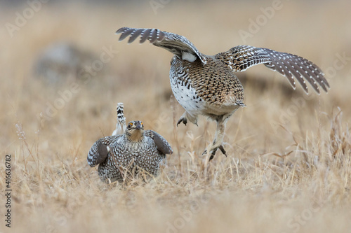 Fotografie, Obraz Sharp-tailed grouse, territory dispute