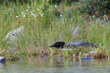 Common Loon Sitting On Nest