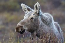 Alaskan Moose, Young Bull