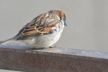 A Frozen Fluffy Little Sparrow Sits On An Iron Stand Against A B