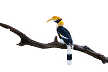Great Hornbill (Buceros Bicornis) Is On A Timber Isolated On White Background With Clipping Path.