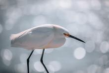 A Snowy Egret In Fort De Soto,Florida