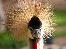 Jenjang Mahkota, A Bird With Crest On Head. Selective Focus