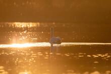 Wild Bird Mute Swan (Cygnus Olor) Swim In Spring On Pond, Evening Sun Golden Color With Nice Bokeh On Backlight. Czech Republic Europe Wildlife