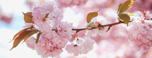 Spring Blossom Branch On Pink Blooming Tree. Beautiful Nature Scene With Flowers On Tree And Sun Flare. Sunny Day. Beautiful Orchard. Abstract Blurred Background