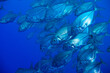 canvas print picture - Photo of big school of Caranx fishes swim close to the camera