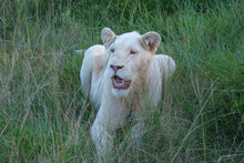 Young Male Lion Resting And Panting Among The Tall Grass On A Hot Summer's Day In South Africa