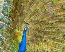 Brightly Colored Fanned Tail Of Indian Peafowl. Indian Peafowl, Blue Peafowl