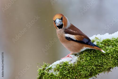 Obraz na plátne Coccothraustes coccothraustes, Hawfinch, wildlife from danube wetland forest, Sl