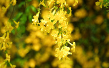 Close Up Yellow Flowers With Green Leaves, Cat's Claw, Catclaw Vine, Cat's Claw Creeper