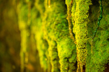 Green Moss Wall In Iceland With Dripping Water Droplets. Beautiful Tropical Background At The Waterfall. Moss Texture With Blurred Background.