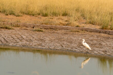 Intermediate Egret Or Median Egret Or Yellow Billed Egret Is A Medium Sized Heron With Reflection In Water At Tal Chhapar Sanctuary Rajasthan India - Ardea Intermedia