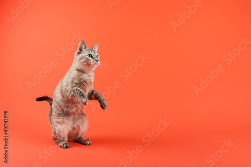 Obraz na plátne cat stands on hind legs is looking with interest on empty space on orange backgr