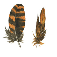 Striped Feather Of Owl Or Woodcock Isolated On White Background. Watercolor Hand Drawing Illustration. Brown And Orange Feather. Realistic Painting.