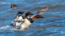 Canvasback Canvas Back Ducks In Flight